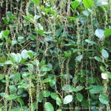 Itea ilicifolia 4 Ltr