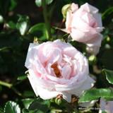 New Dawn - Climbing Rose