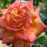 Rosa 'Piccadilly'