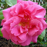 Pink Showers - Climbing Rose