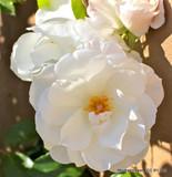 Sanders White - Climbing Rose