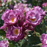 Veilchenblau - Climbing Rose