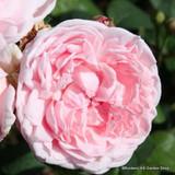 Baroness Rothchild - Shrub Rose