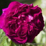 Charles De Mills - Gallica Rose