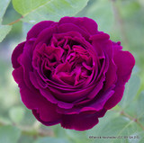 Falstaff - David Austin English Shrub Rose