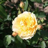 Graham Thomas - English musk rose