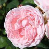 Maiden's Blush - Alba rose