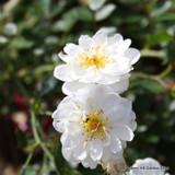 Moonlight - Shrub rose