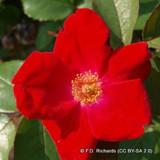 Moyessi Geranium - Shrub rose