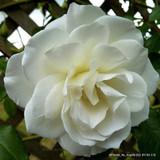 Iceberg - standard rose