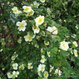 Weeping Canary Bird - Standard rose