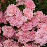 The Fairy - Dwarf Polyantha rose