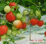 Strawberry 'Alice'