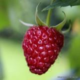 Raspberry 'Glen Lyon'