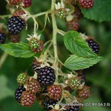 Blackberry 'Loch Maree'