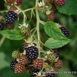 Blackberry 'Loch Maree'