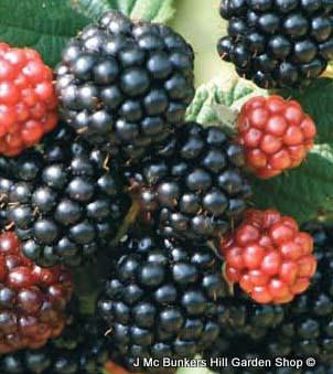 Blackberry 'Waldo'