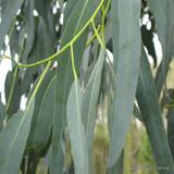 Eucalyptus mitchelliana 3ltr