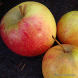 Apple 'Red Pippin' (Fiesta) 1yr dwarf tree on M27 rootstock