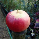 Apple 'Katy' Fan-trained 2yr tree on MM106 rootstock