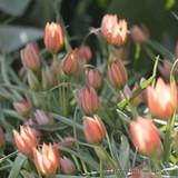 Tulip Little Princess