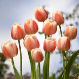 Tulip Ollioules