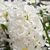 'Aiolos' Hyacinths