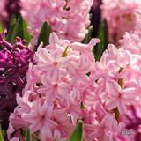 'Anne Marie' Hyacinths