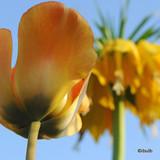 'Blushing Apeldoorn'