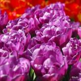 'Blue Diamond' Tulips
