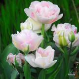 'Angelique' Tulips