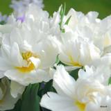 Tulip Schoonooord