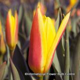 Tulip Guiseppe Verde