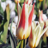 Tulip Johann Strauss