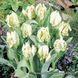 Tulip Super Parrot
