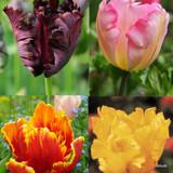 Tulip Mixed Parrot