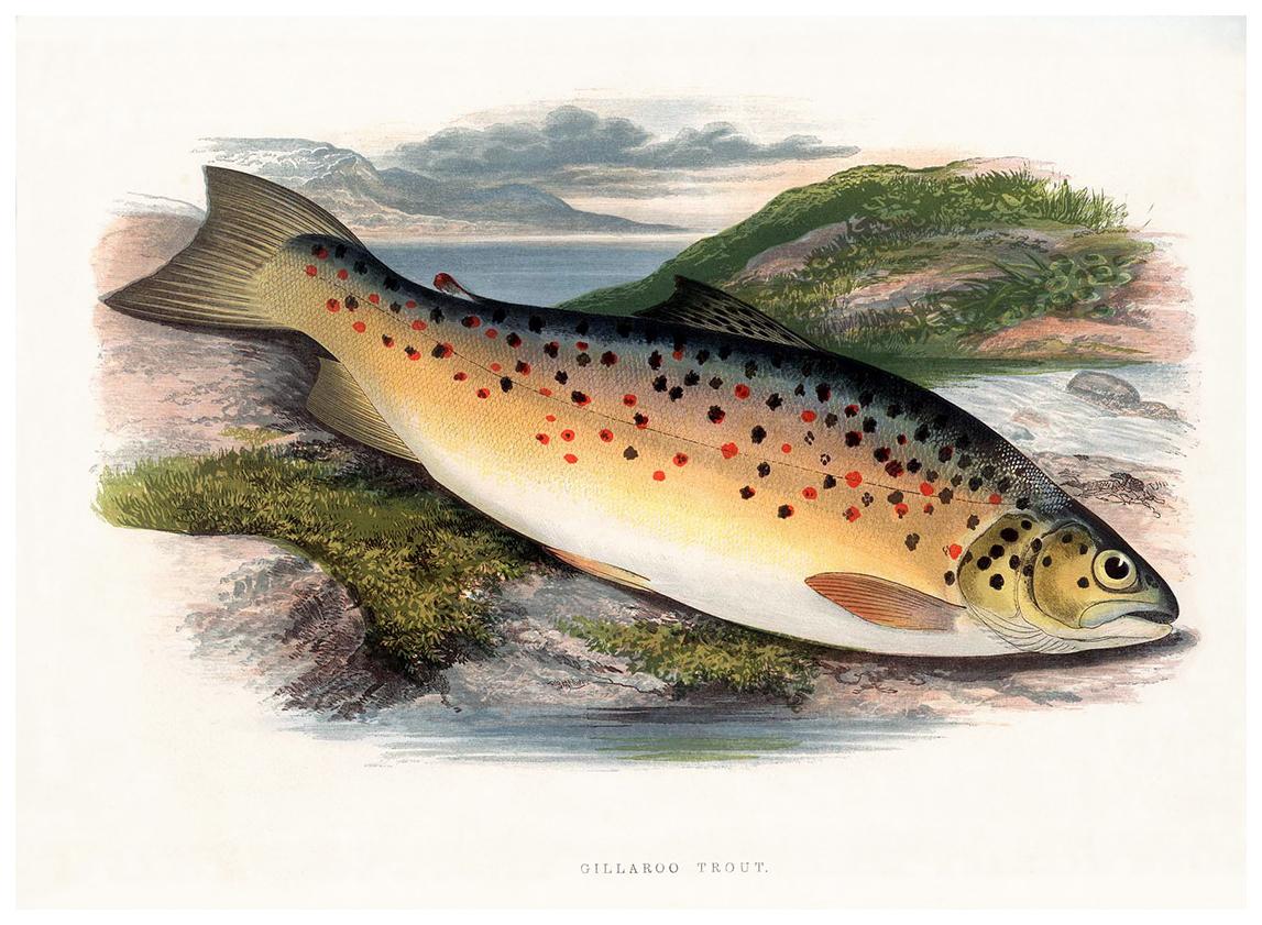 a-gillaroo-trout.jpg