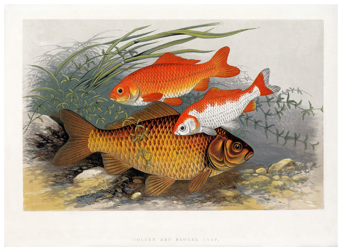 a-golden-bronze-carp.jpg