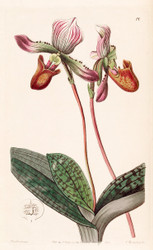 Paphiopedilum barbatum