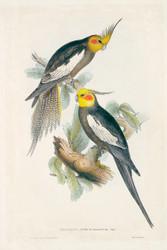 Nymphicus Novae Hollandiae