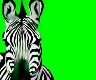 Zebra Lime