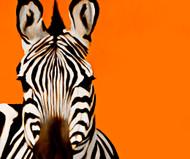 Zebra Orange
