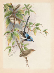 Blue Wrens Print by Neville W. Cayley