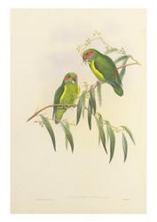 Coxen's Parakeet