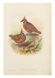 Rust-coloured Bronzewing