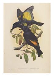 Rawnsley's Bower-bird