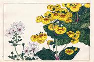 Calceolaria and Lavatear