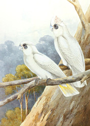Little Corellas Pair
