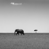 Elephant and Friend, Print, Canvas or Stretched Canvas