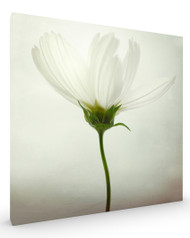 White Cosmos Flower Stretched Canvas